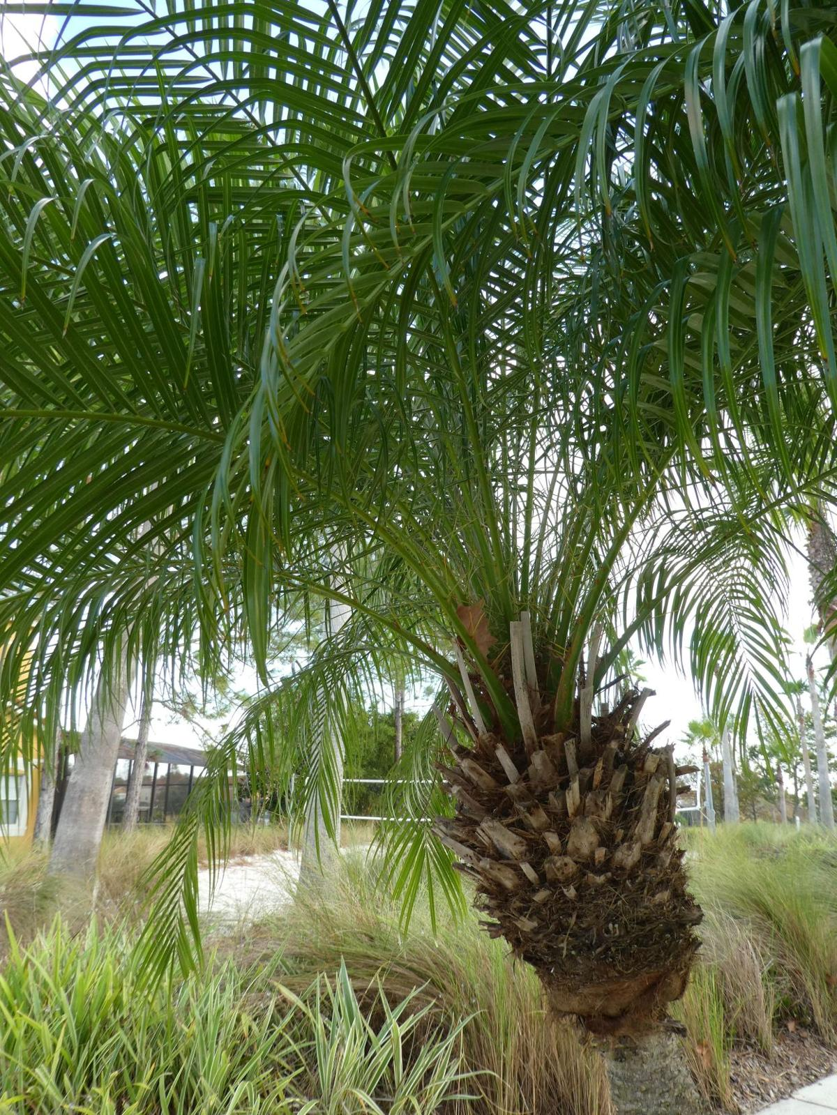 Frost Tender Pygmy Date Palms Real Estate
