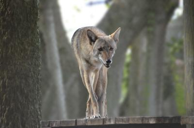 FWC Coyote Photo
