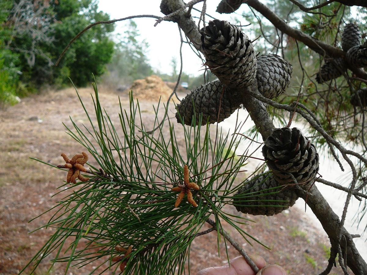 Common Florida Pine Trees Real Estate Chronicleonline Com