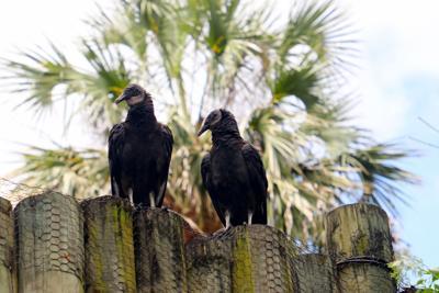 Vultures at wildlife park