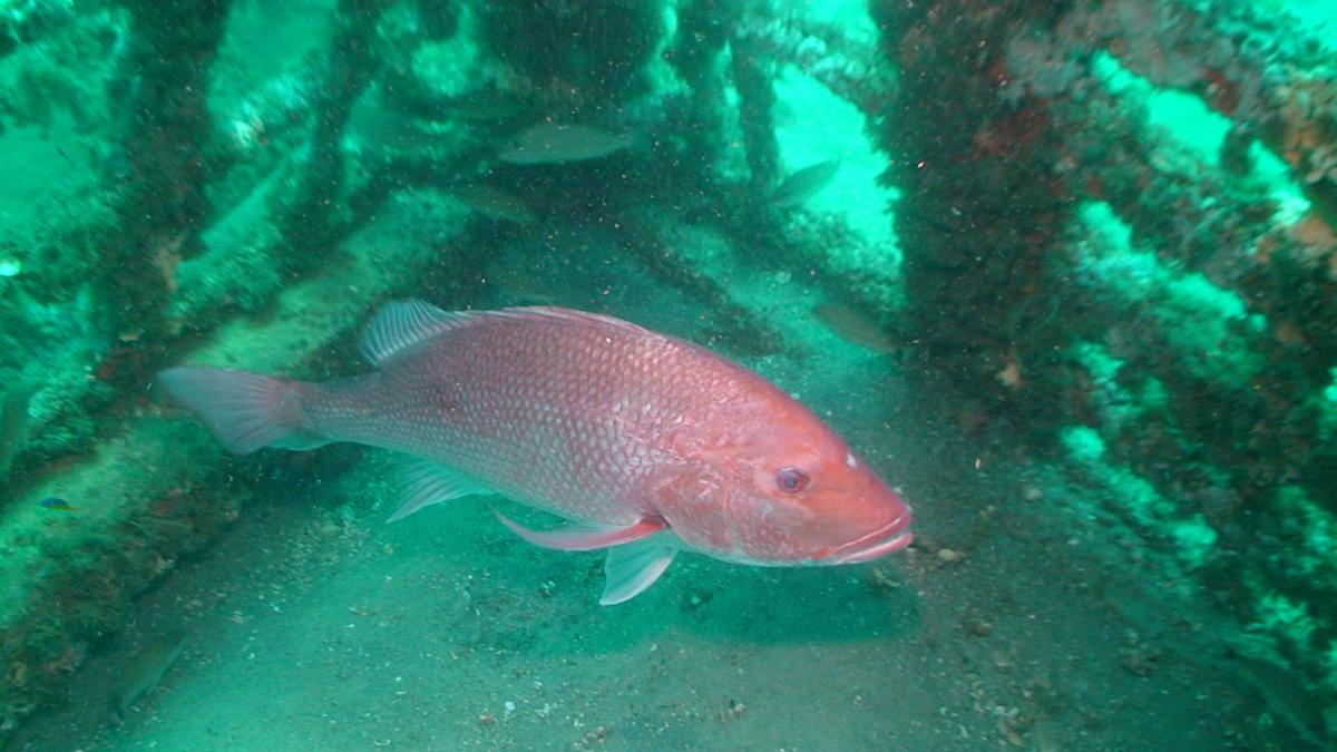Red Snapper FWC (File)
