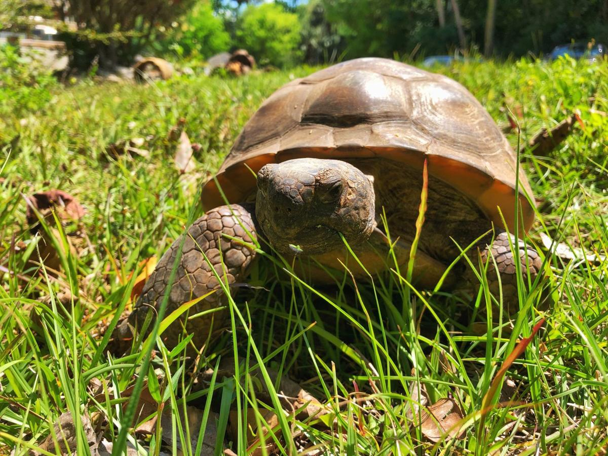 Gopher Tortoise (File)