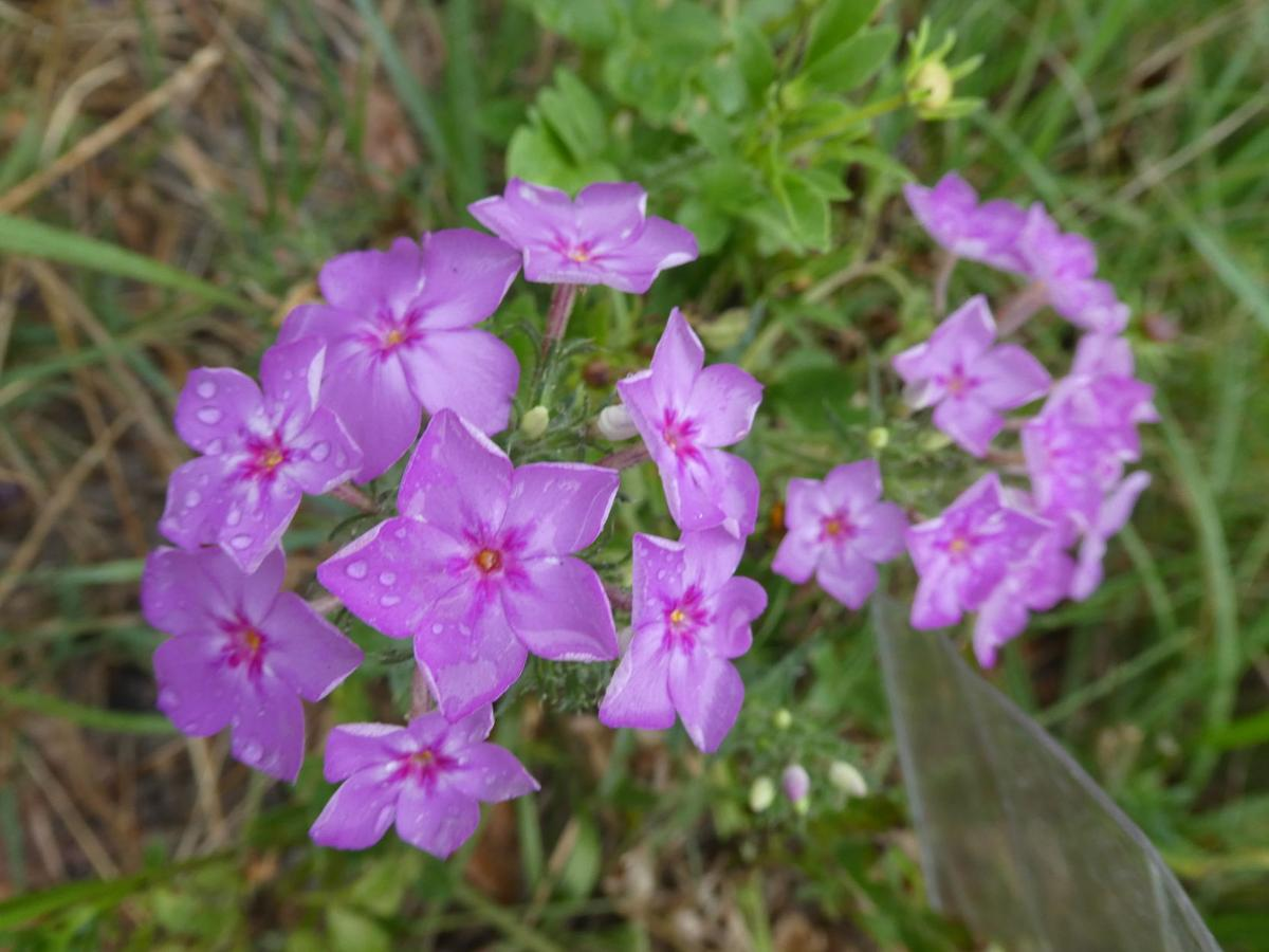 Annual Garden Phlox In Florida Real Estate Chronicleonline