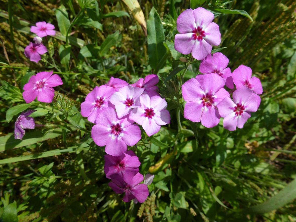 Annual Garden Phlox In Florida Real
