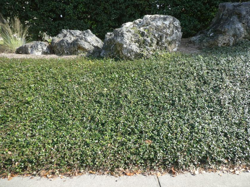 Asian Jasmine an excellent ground cover | Real Estate ...