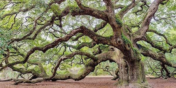 Not all oak trees are created equal | Real Estate | chronicleonline.com