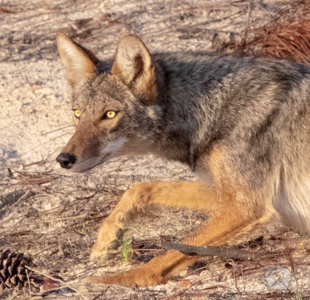 0216 coyotes 2.jpg