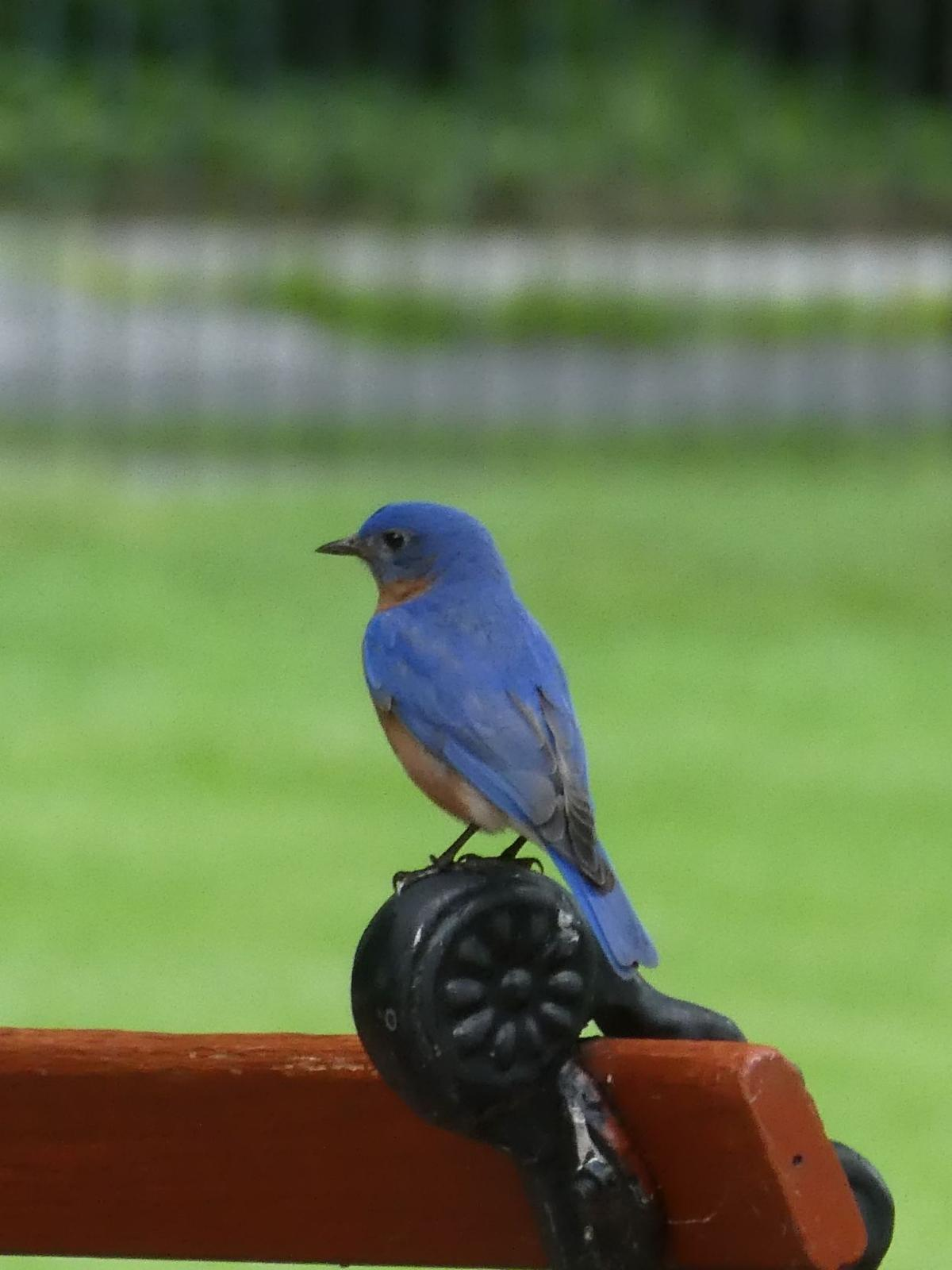 0223 bluebird 1.JPG