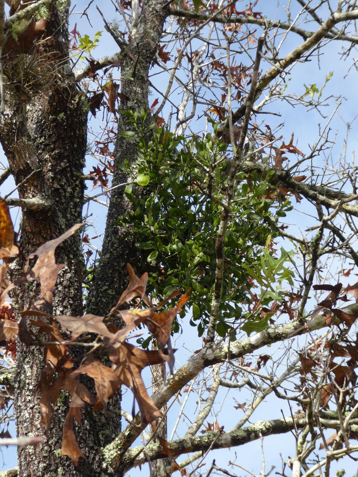 Parasitic Mistletoe Can Kill Healthy Trees Real Estate