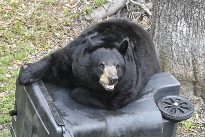 FWC Black Bear Stock Photo