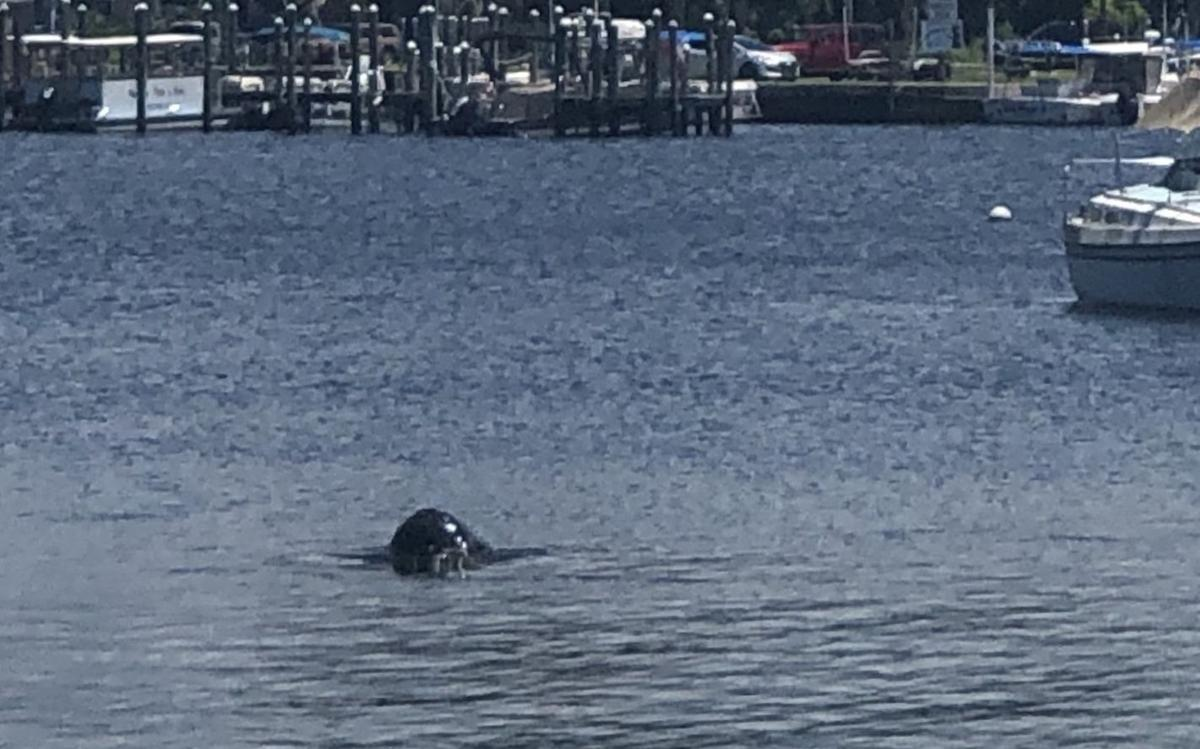 Pilot Whale King's Bay Sighting 1