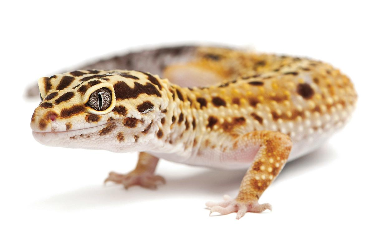 3 Kinds Of Lizards That Make Great Pets Lifestyle Chronicleonline Com