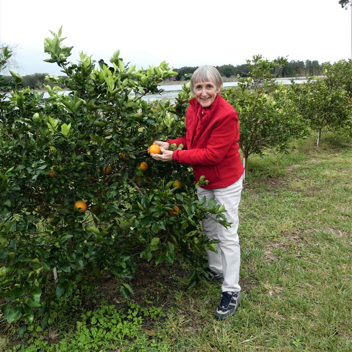 Cold Hardy Citrus For Sale: Cold Hardy Citrus Trees For Central Florida