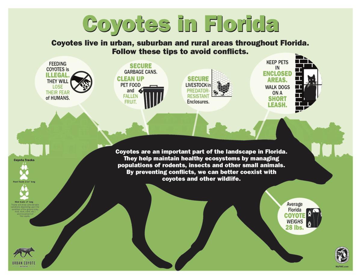Coyote Infographic