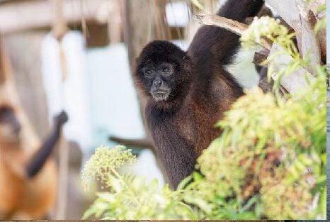 Spider monkeys at Monkey Island