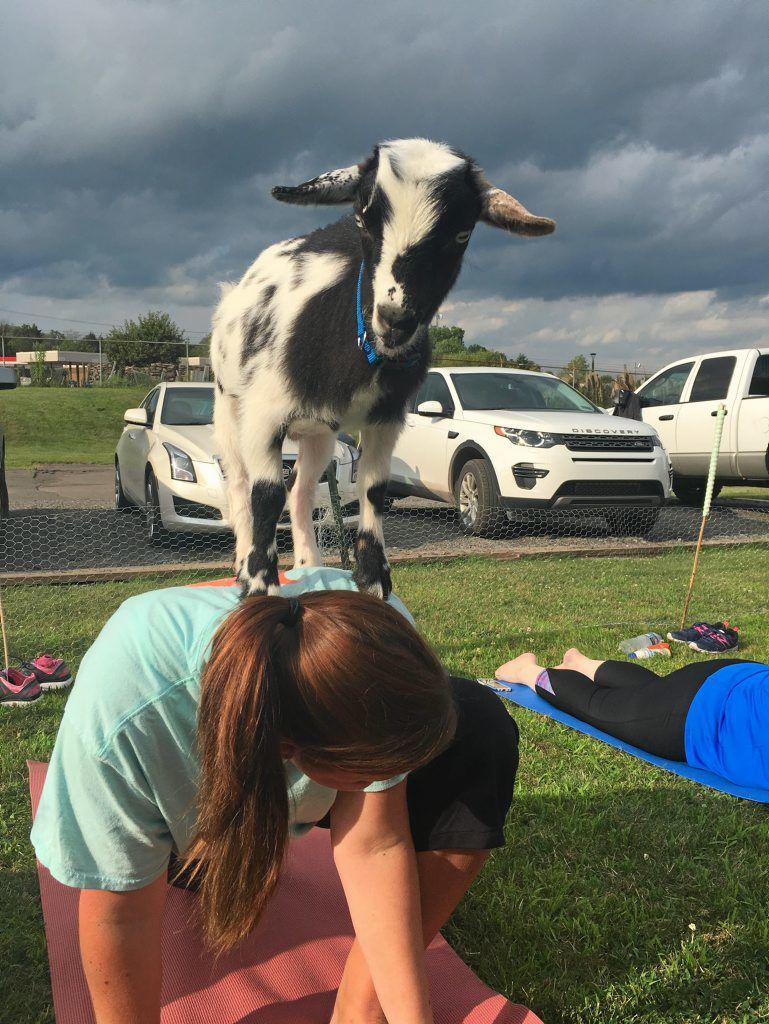 Goat Yoga Classes In Dallas Prove Popular News Citizensvoice Com