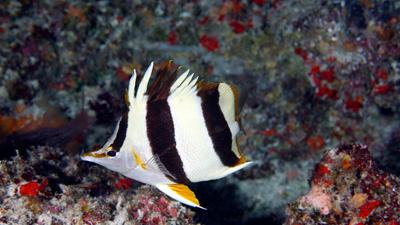 Scientists discover a new deep-reef Butterflyfish species