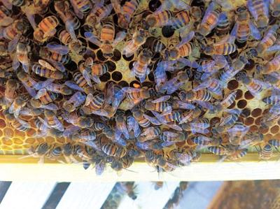 Panther Creek Park Ranger keeping bees at the park