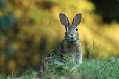 State restricting rabbit imports to keep out virus