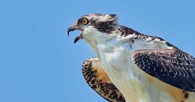 AEC  working with TWRA on osprey issue