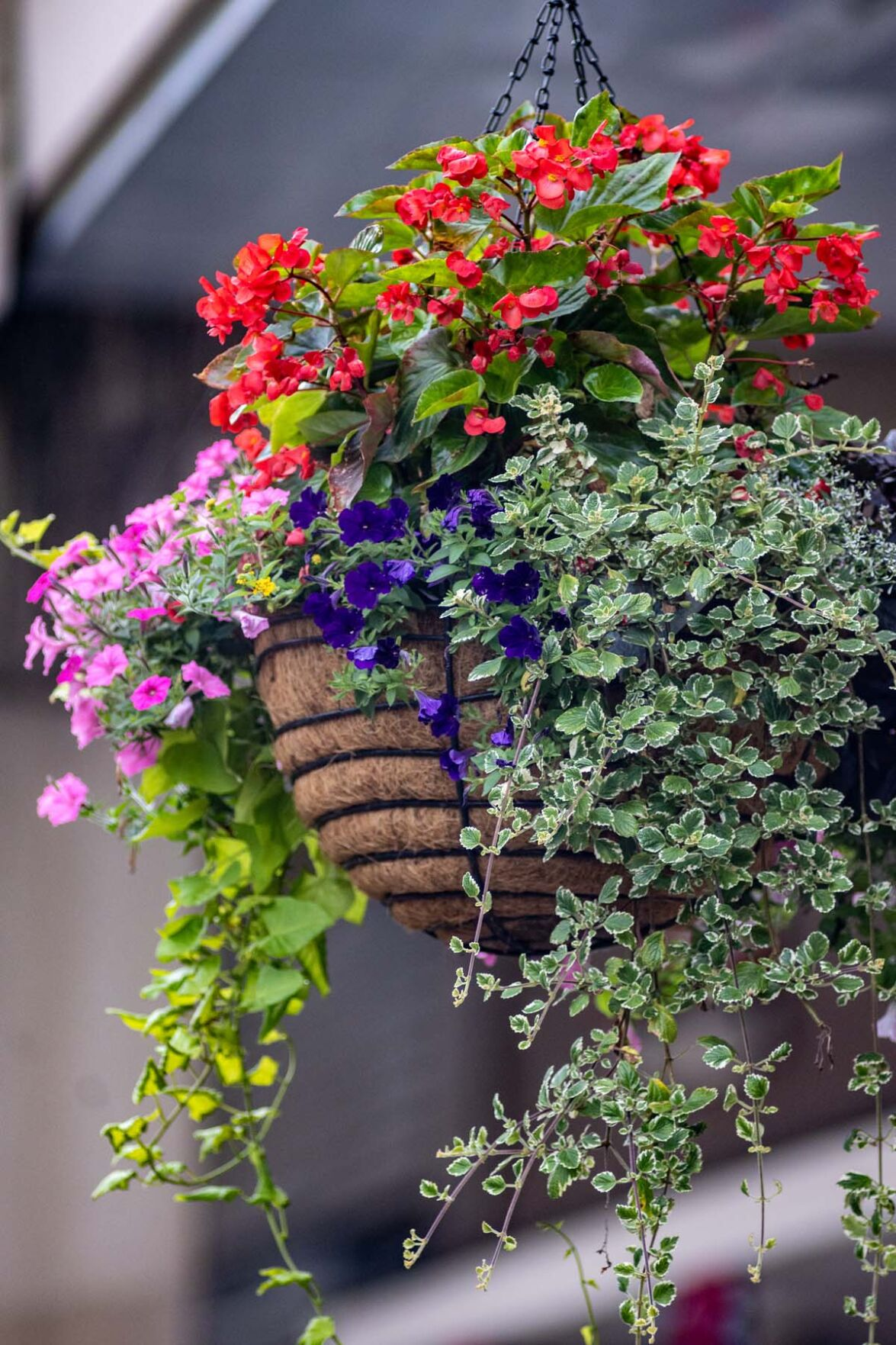 In Bloom: Hanging baskets flowering downtown