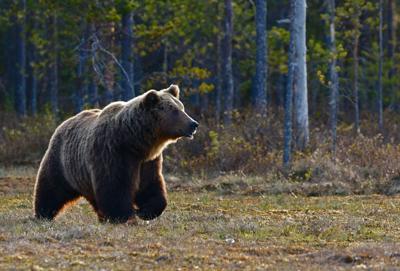 Bear encounter under investigation