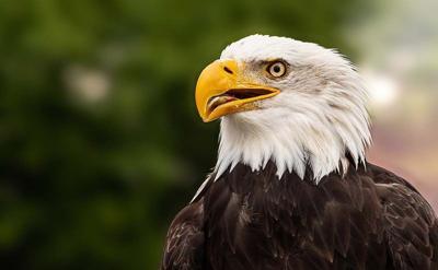 Bald Eagle injured in Mosheim dies