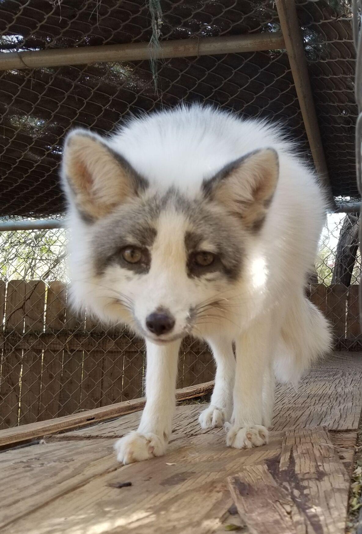 SWCC_marble fox Pawnee.jpeg