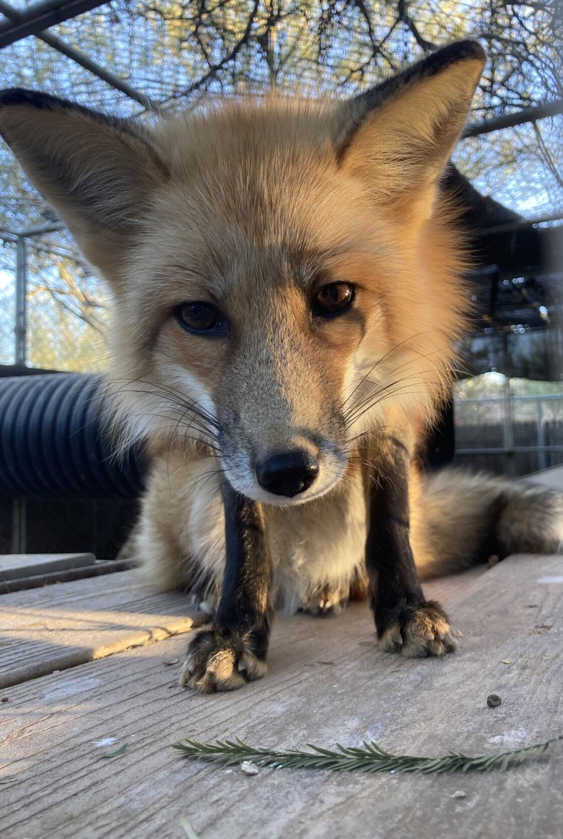 SWCC_red fox Tequila.jpg
