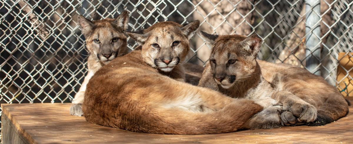SWCC_mtn lion kittens photo by R. Coonrod.jpg