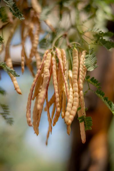 mequite-beans