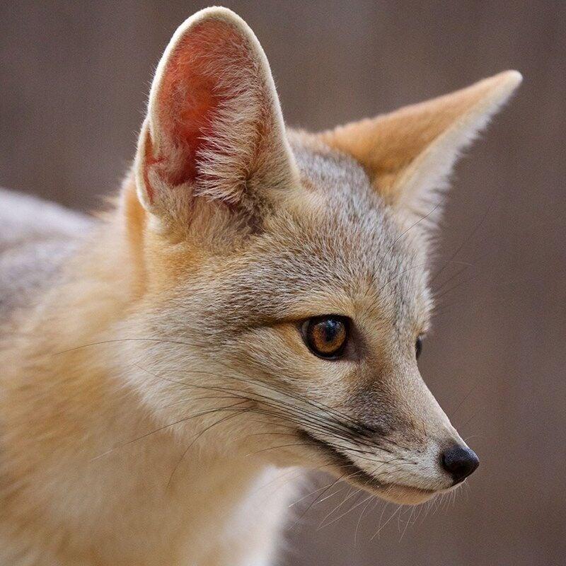 SWWildlife_kit fox jalapena