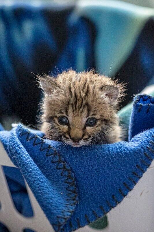 SWWildlife_bobcat orphan