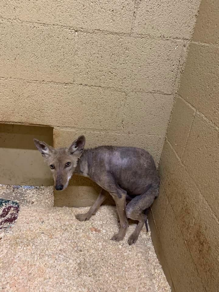 SWCC_Coyote in Rehab 2 months after Rescue.jpg