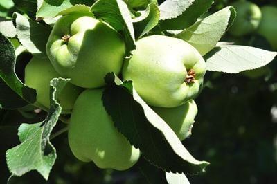 The Urban Farm_Apples