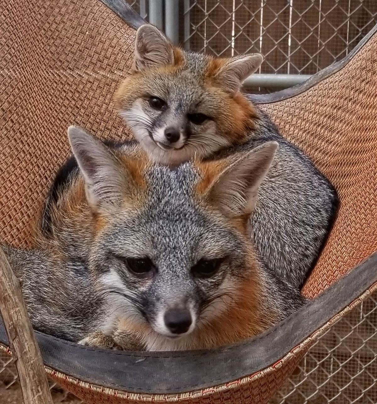 gray foxes in sanctuary