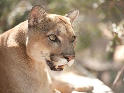Mountain Lion Ash