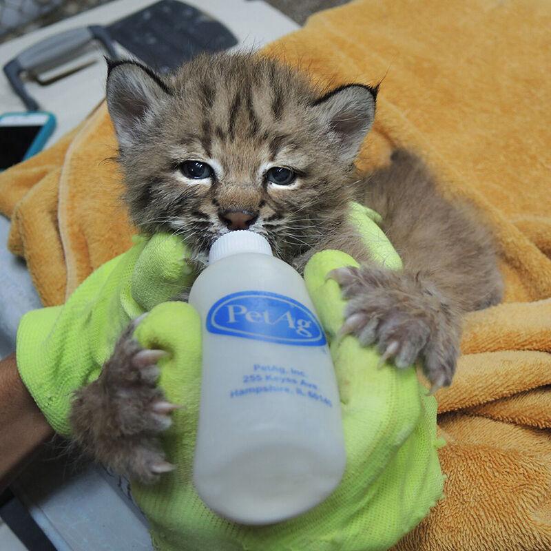 SWWildlife_bobcat baby