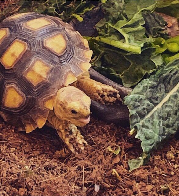 SWCC_baby sulcata tortoise.jpg