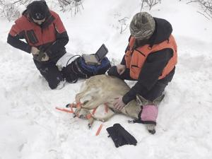 The Idaho Department of Fish and Game begins white-tailed deer trapping effort in the Clearwater Region