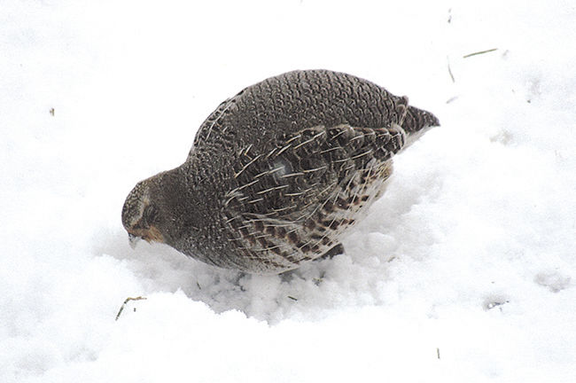 Fraser News - Hungarian Partridge 2