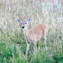 F&G Deer