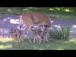 Twin Whitetail Fawns