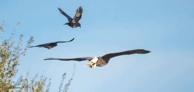 Eagle Nesting Season is Here!