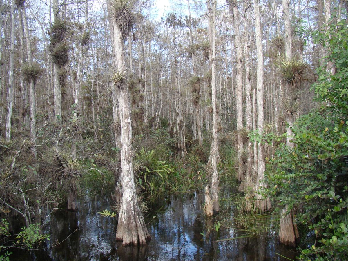 Celebrate Florida 1. Cypress swamps catch and filter rainwater.JPG
