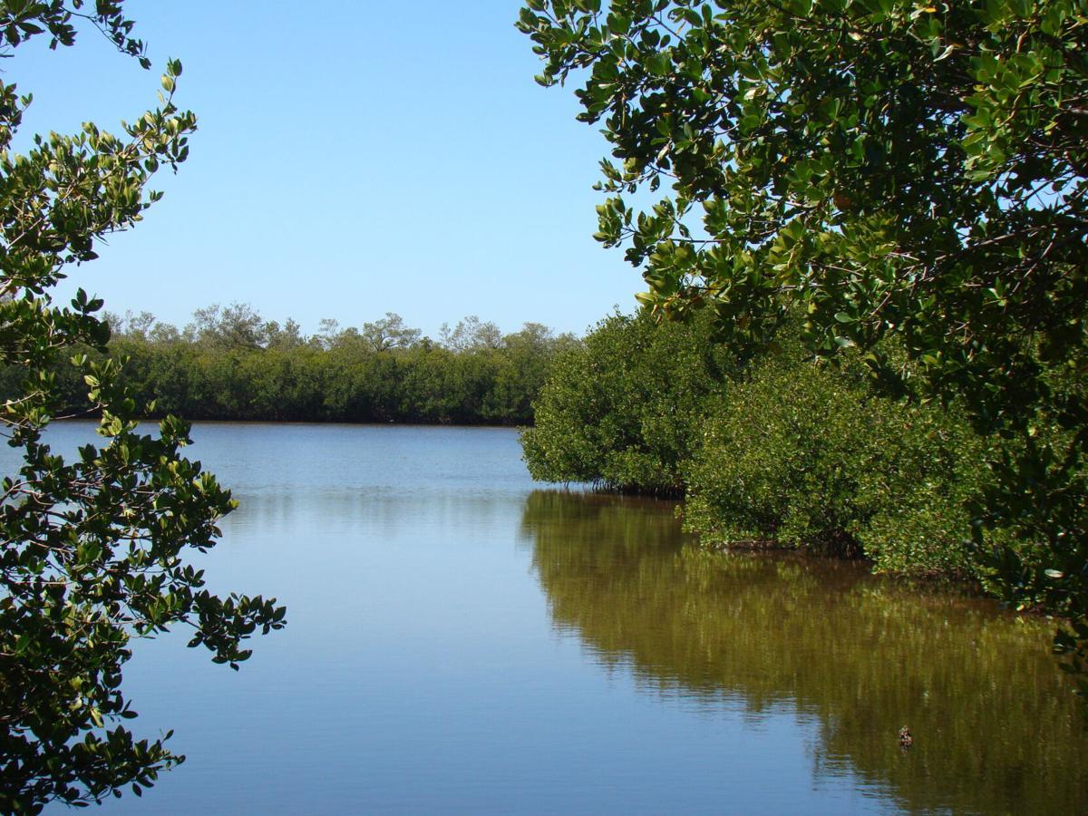 Celebrate Florida 2. Red mangroves fringe our estuaries.JPG