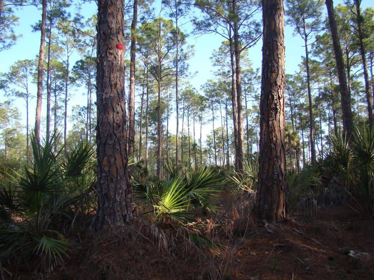 3. The high canopies of pine forests.JPG