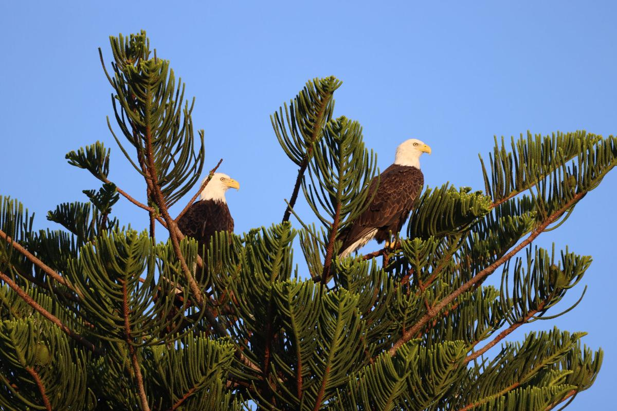 Eagle Nesting 1. One of two eagle pairs preparing for nesting season..JPG