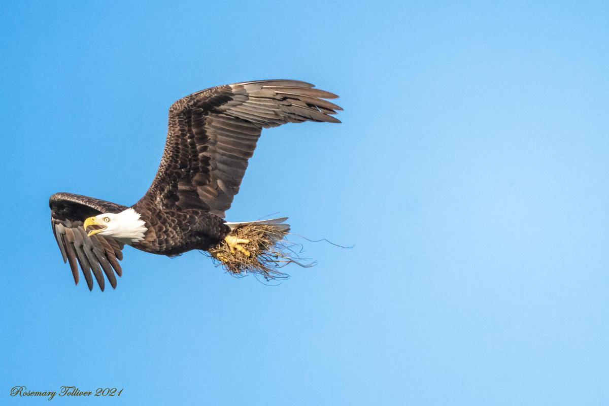 Eagle Nesting 3. Bringing in grasses for the nest..jpg