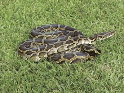 Burmese_python_(6887388927).jpg